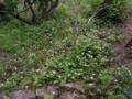 [植物][花][草]ドクダミ