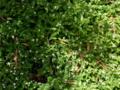 [植物][草][花]トキワツユクサ