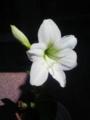 [植物][花]アマリリス