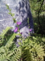 [植物][花][草]キキョウソウ