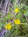 [花][草][植物]カタバミ
