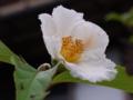 [植物][花]ナツツバキ