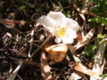 [花][植物]ナツツバキ