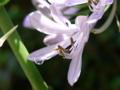 [花][植物]アガパンサス