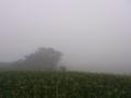 [霧][田畑][植物][草][木]トウモロコシ畑