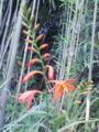 [花][植物][草]モントブレチア