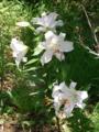 [植物][花][草]カサブランカ