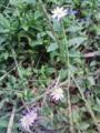 [植物][草][花]カントウヨメナとツユクサ