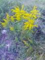 [植物][草][花]セイタカアワダチソウ