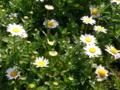 [花][草][植物]デイジー