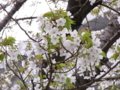 [花][植物]オオシマザクラ