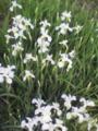 [花][草][植物]白アヤメ