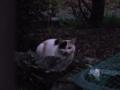 [猫][花][夕方]三毛猫