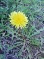 [花][草][植物]タンポポ