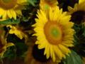[花][植物]ヒマワリ