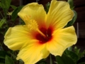 [花][植物]ハイビスカス