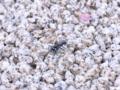 [虫][花]ハンミョウ