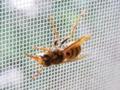 [虫]キイロスズメバチ