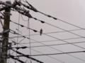 [電柱][電線][空][鳥]キジバト