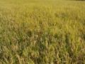 [植物][草]稲