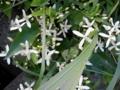 [草][花][植物]センニンソウ