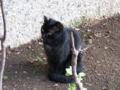 [猫]黒猫