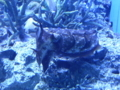 [イカ]コブシメ