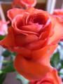 [花][植物]バラ