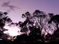 [空][夕方][木][植物]夕空と木