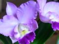 [花][植物]カトレア