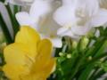 [花][植物]フリージア