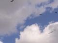 [鳥][空][雲]トビ