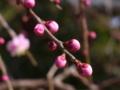[植物]梅の蕾