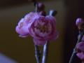 [植物][花]ウメ