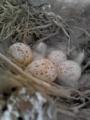 [鳥][物]ツバメの卵