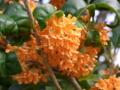 [植物][花]キンモクセイ