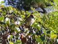 [鳥][植物]スズメとイヌツゲ
