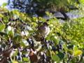 [鳥]スズメとイヌツゲ