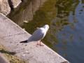 [鳥]ユリカモメ