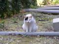 [猫]白三毛