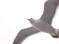 [鳥][空]カモメ