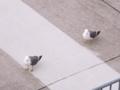 [鳥]カモメ