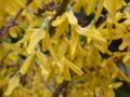 [花][植物]レンギョウ