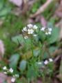 [花][植物][草]タネツケバナ