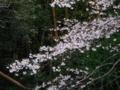 [花][植物][木]ヤマザクラ