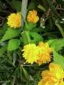 [花][植物]ヤマブキ