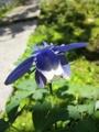 [花][植物][草]オダマキ