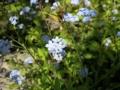 [花][植物][草]ワスレナグサ