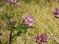 [花][植物][草][虫]レンゲとミツバチ