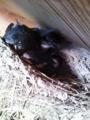 [鳥]ツバメの雛